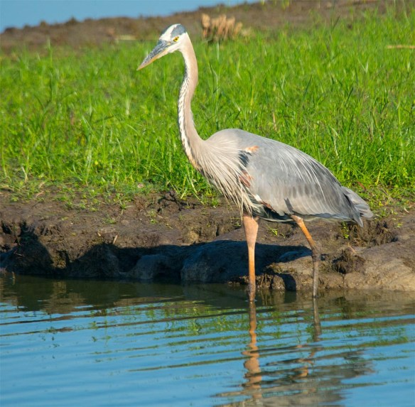 Great Blue Heron 2017-58