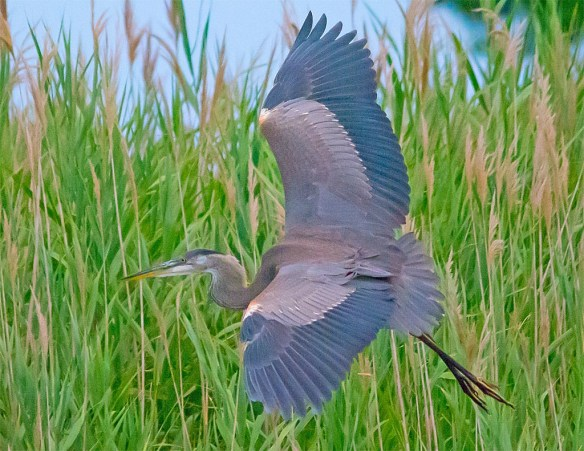 Great Blue Heron 2017-74