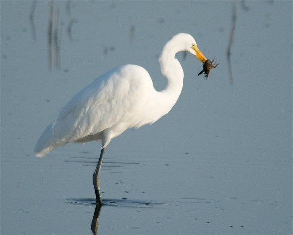 Great Egret 2017-61