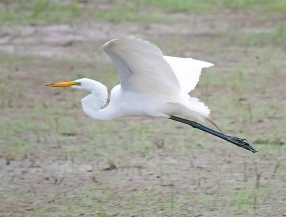 Great Egret 2017-71