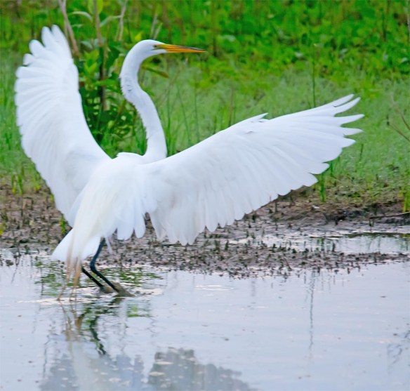 Great Egret 2017-72