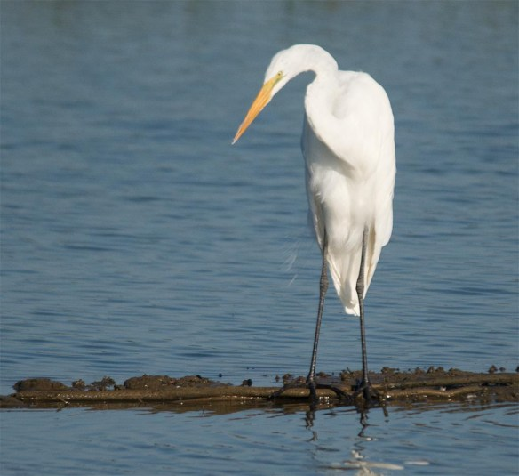 Great Egret 2017-75