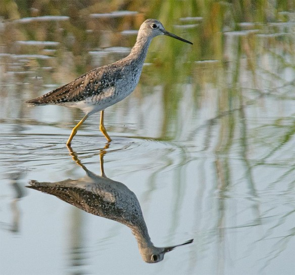 Greater Yellowlegs 2017-16