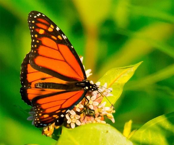 Monarch 47