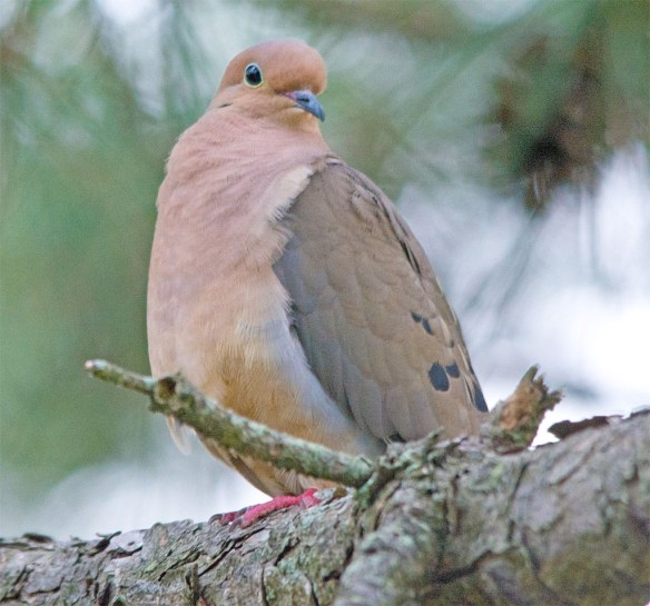 Mourning Dove 2017-2