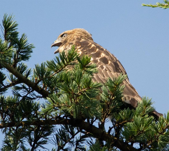 Red Shouldered Hawk 2017-6