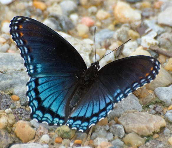 Red Spotted Purple 12