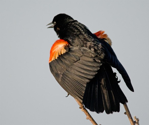 Red Winged Blackbird 2017-81