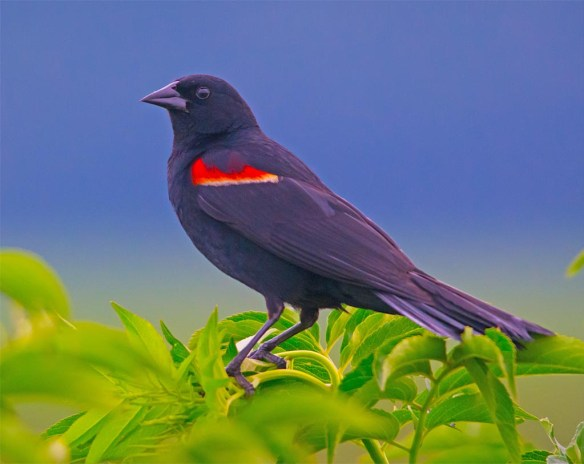Red Winged Blackbird 2017-85
