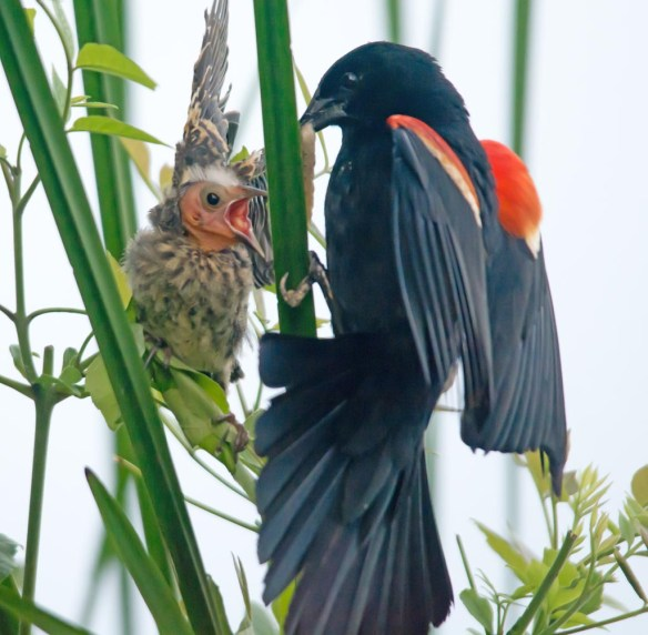Red Winged Blackbird 2017-86