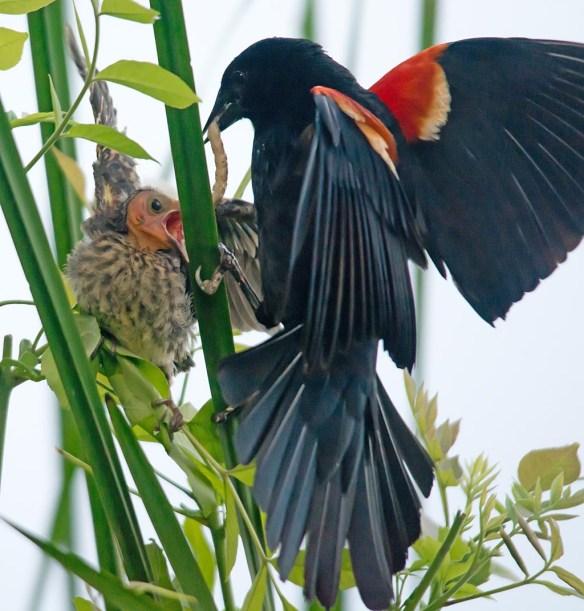 Red Winged Blackbird 2017-87