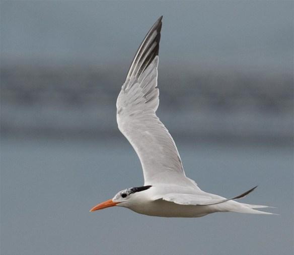 Royal Tern 2017-3