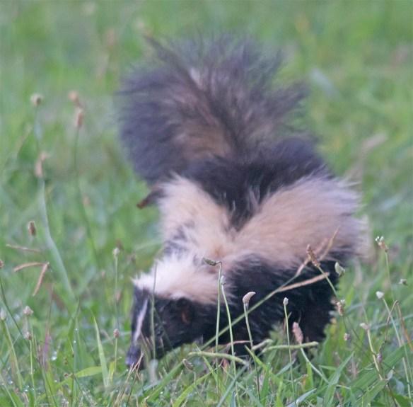 Skunk 5