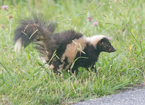 Skunk 7