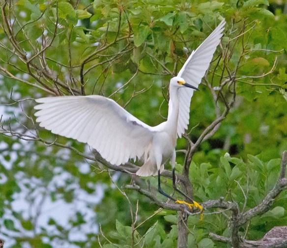 Snowy Egret 2017-34
