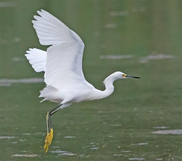 Snowy Egret 2017-35
