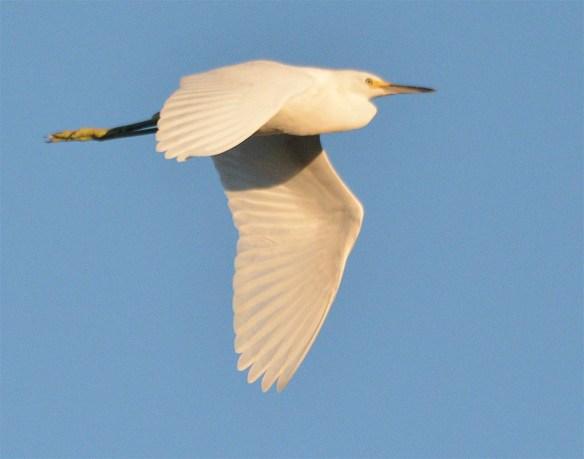Snowy Egret 2017-47