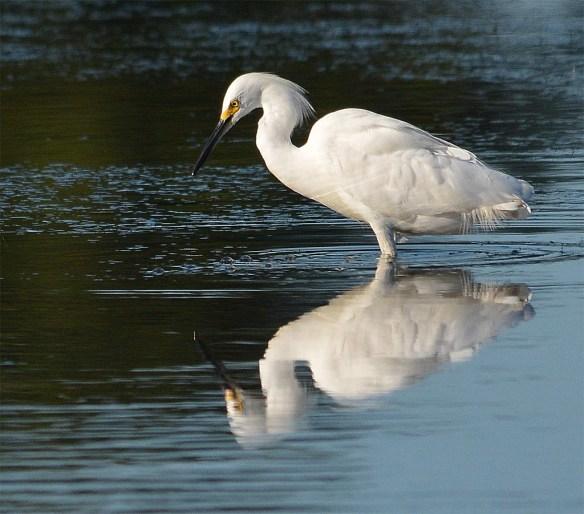 Snowy Egret 2017-52