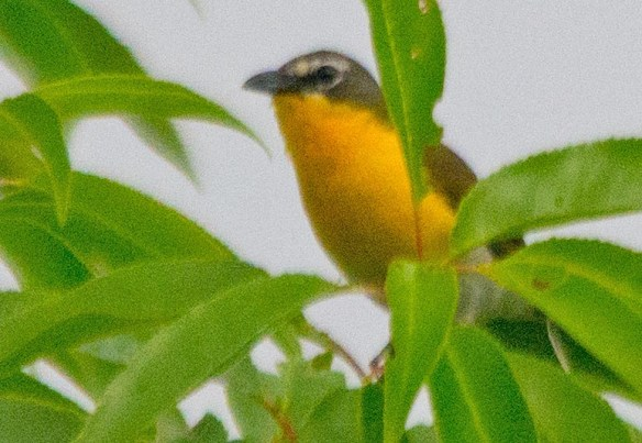 Yellow Breasted Chat 2017-2