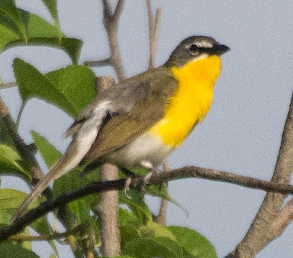 Yellow Breasted Chat 2017-3