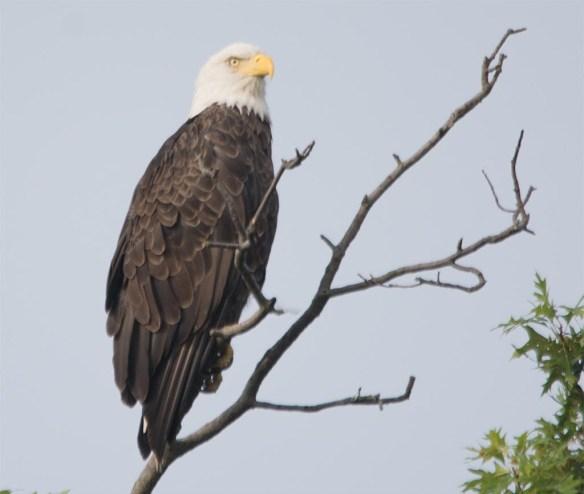Bald Eagle 2017-150