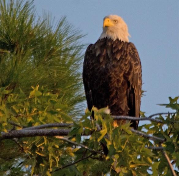 Bald Eagle 2017-151