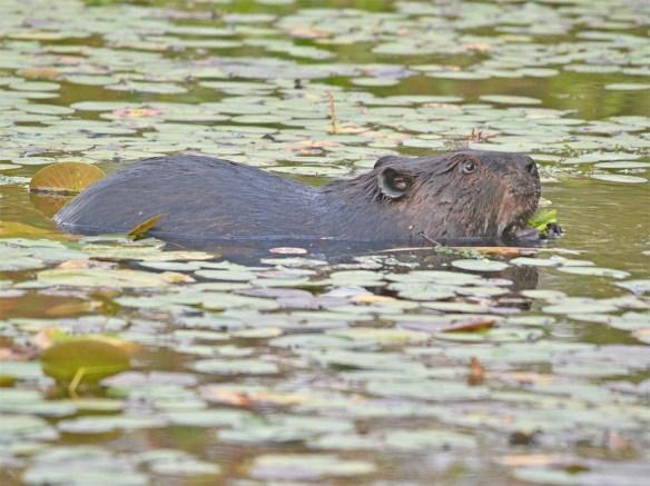 Beaver 123