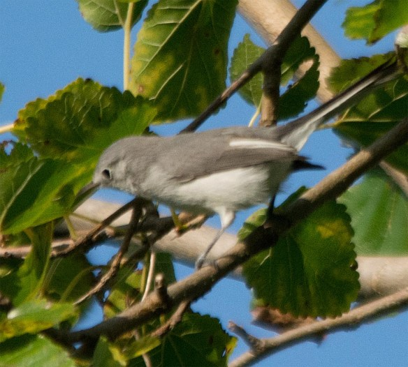 Blue Gray Gnatcatcher 2017-9