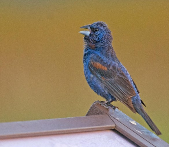 Blue Grosbeak 2017-11