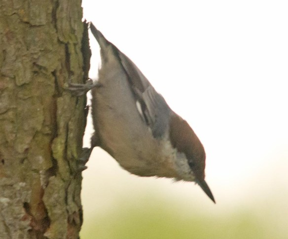 Brown Headed Nuthatch 2017-27