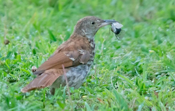 Brown Thrasher 2017-8