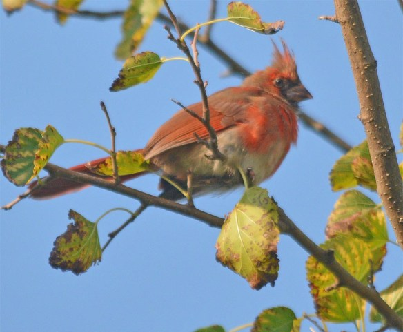 Cardinal 2017-15