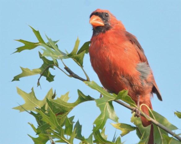 Cardinal 2017-16