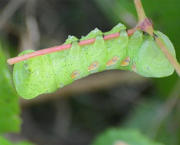 Caterpillar 229