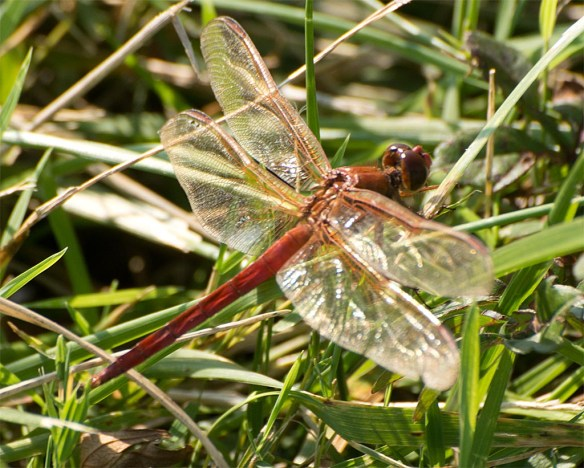 Dragonfly 102