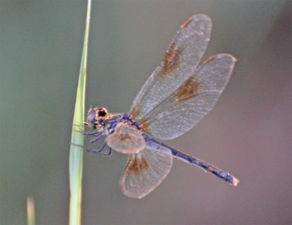 Dragonfly 103
