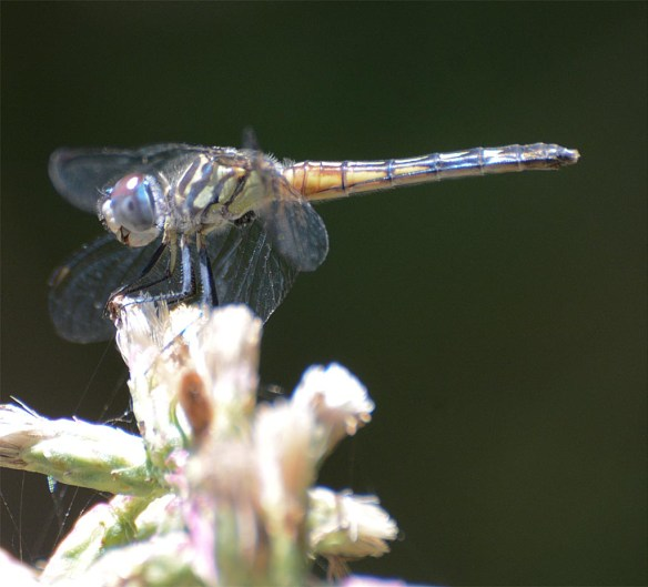 Dragonfly 108