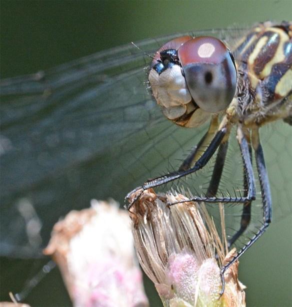 Dragonfly 109