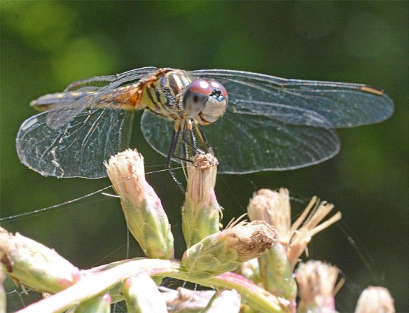 Dragonfly 110