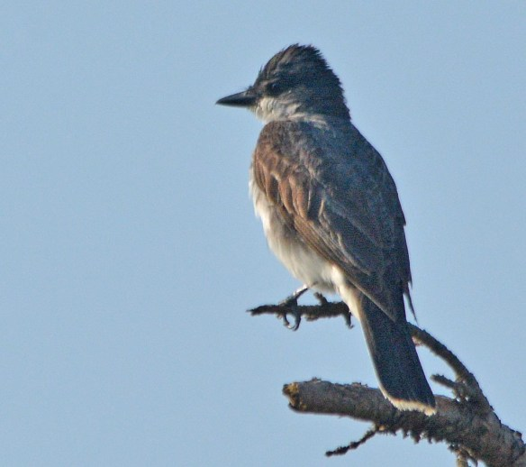 Eastern Kingbird 2017-36