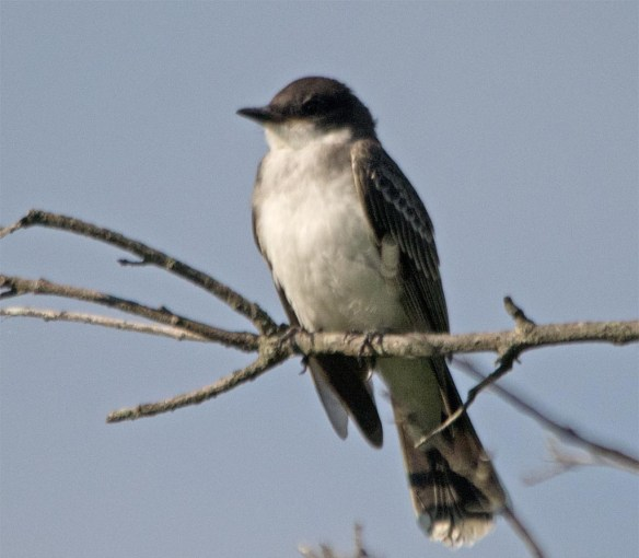 Eastern Kingbird 2017-37