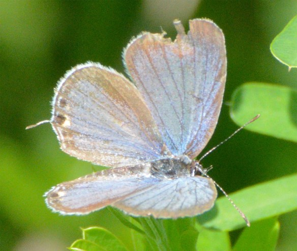 Eastern Tailed-Blue Butterfly 5
