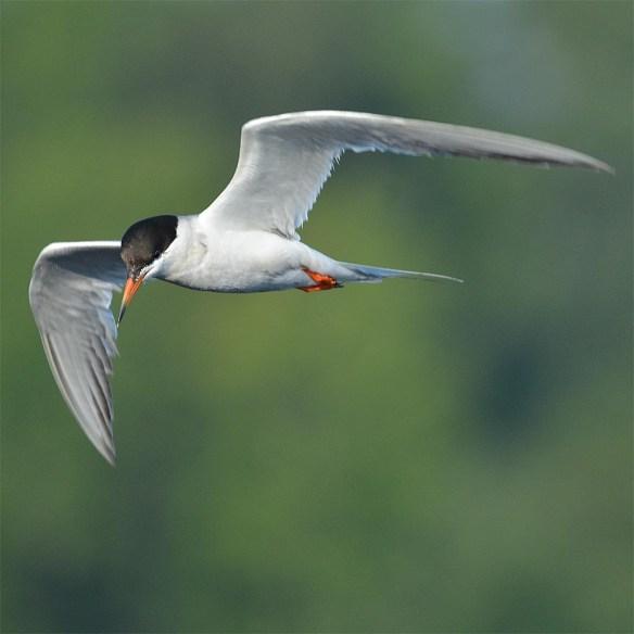 Forster's Tern 2017-19