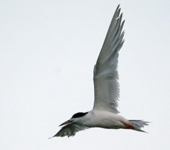 Forster's Tern 2017-28