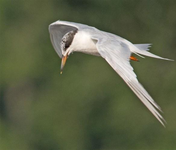 Forster's Tern 2017-71