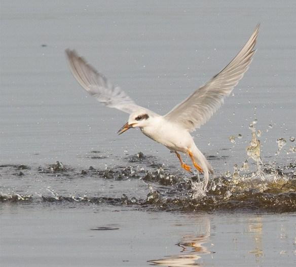 Forster's Tern 2017-81