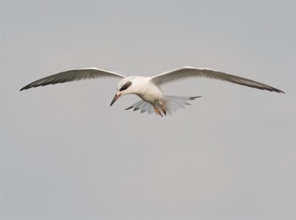Forster's Tern 2017-82