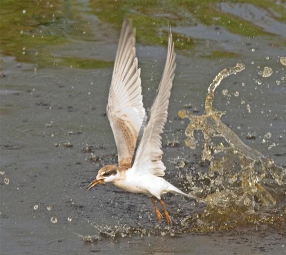Forster's Tern 2017-84