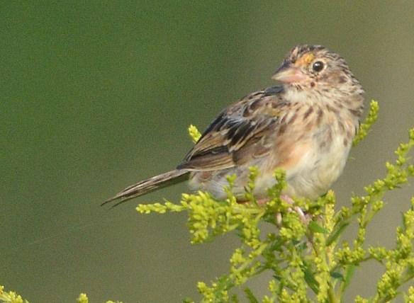 Grasshopper Sparrow 2017-10