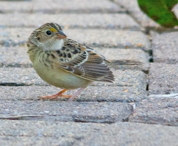 Grasshopper Sparrow 2017-6